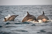 Kalpitiya dolphins